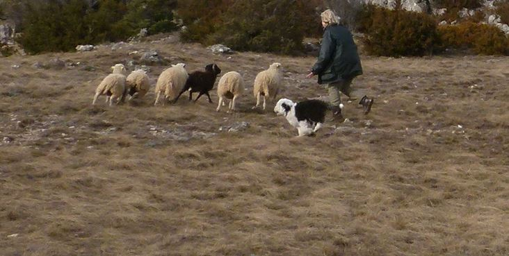 Herding OES Roover